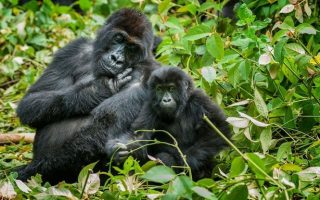 2 days budget congo gorilla tour