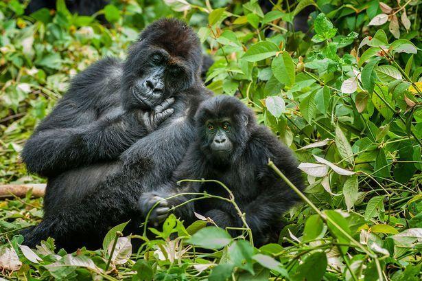 2 days budget congo gorilla tour