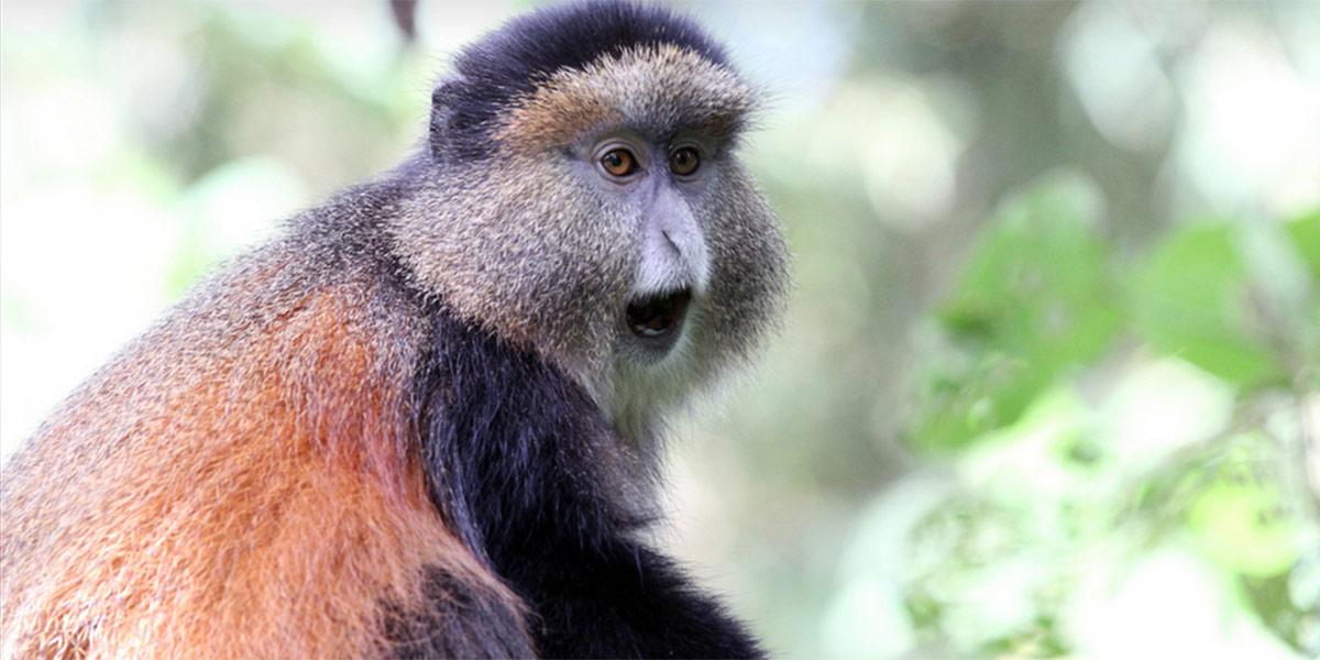 3 Day Rwanda Gorilla and Golden Monkey Safari