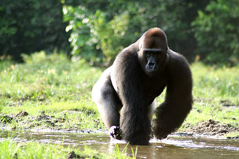 3 Days Congo Lowland Gorilla Safari
