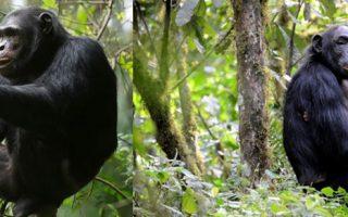 6 Days Rwanda Gorilla and Chimpanzee Safari