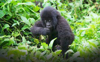 7 Days rwanda gorilla and chimpanzee trekking