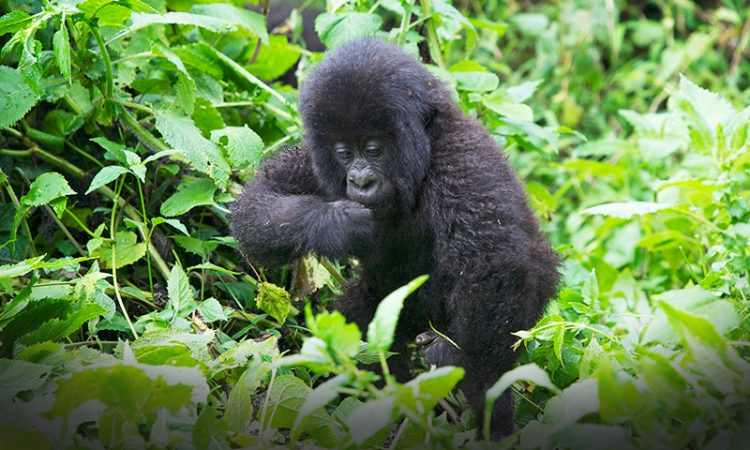 7 Days rwanda gorilla and chimpanzee trekking