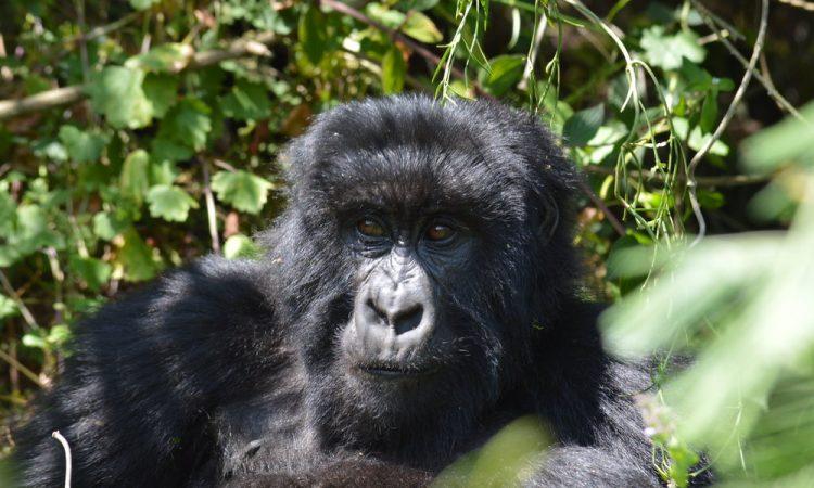 3 Days Budget Bwindi Gorilla Safari