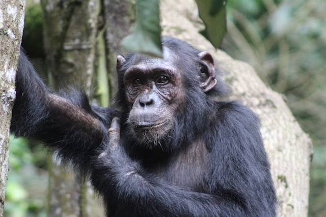 Chimpanzee in Kibale Forest National Park