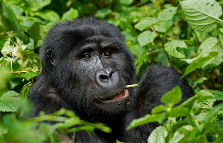 3 Days Gorilla trekking in Bwindi from Kigali