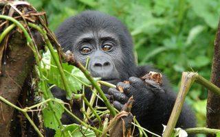 4 Days Gorilla Trekking & Dian Fossey Hike in Rwanda