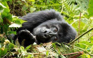 Uganda Gorilla Safari Price