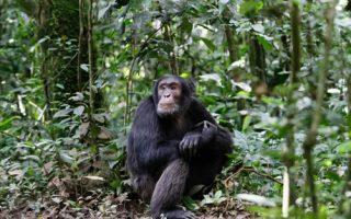Cost of Chimpanzee Trekking