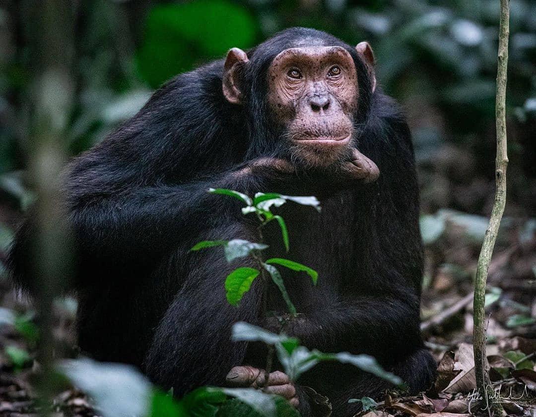 Chimpanzee Trekking Safari in Kibale