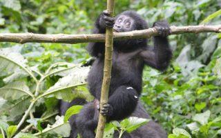 3 Days Uganda Gorilla Habituation Safari
