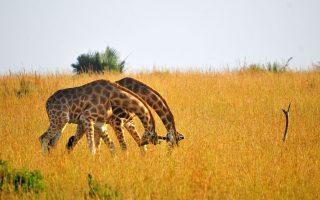 15 Days Uganda Budget Safari