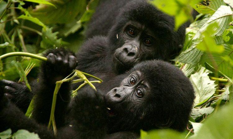 5 Days Visit Rwanda Gorillas & Wildlife Safari