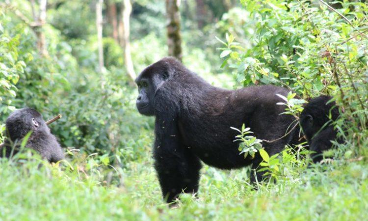 3 Days Bwindi Forest Gorilla Trekking Safari