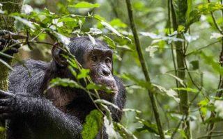 4 Days Budongo Forest Birding & Chimpanzee Safari