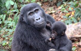 4 Days Mgahinga Gorilla & Golden Monkey Safari