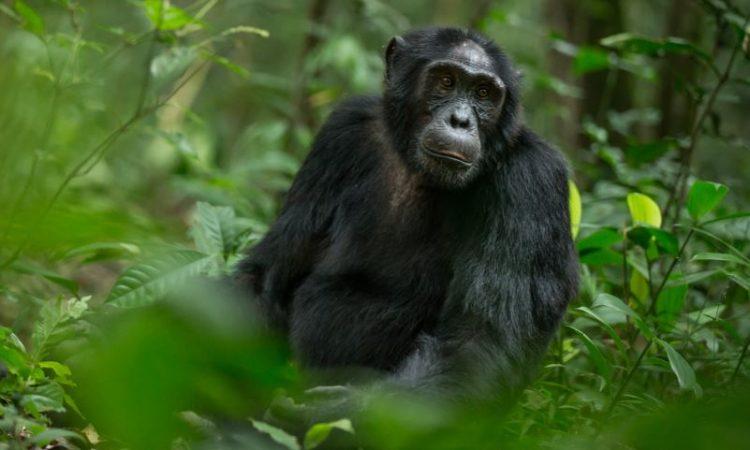 5 Days Uganda Gorilla & Chimpanzees Trekking Safari