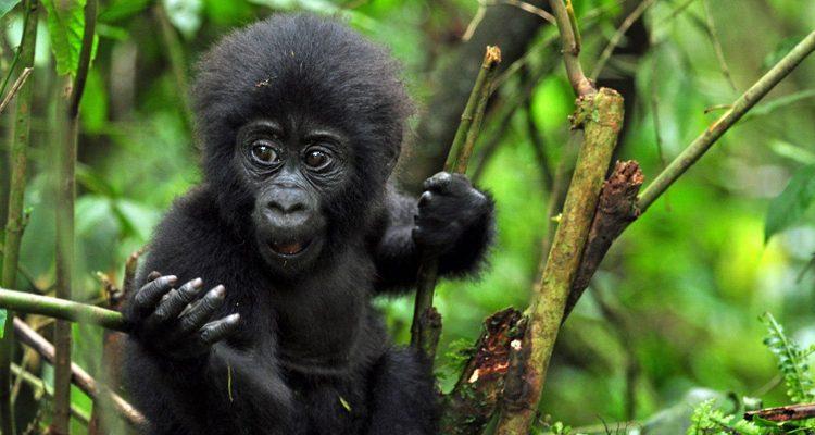 7 Days Best Rwanda & Congo Safari