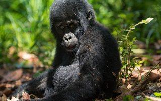 21 Days Uganda Primates & Wildlife safari
