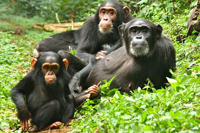 Chimp Tracking in Budongo forest