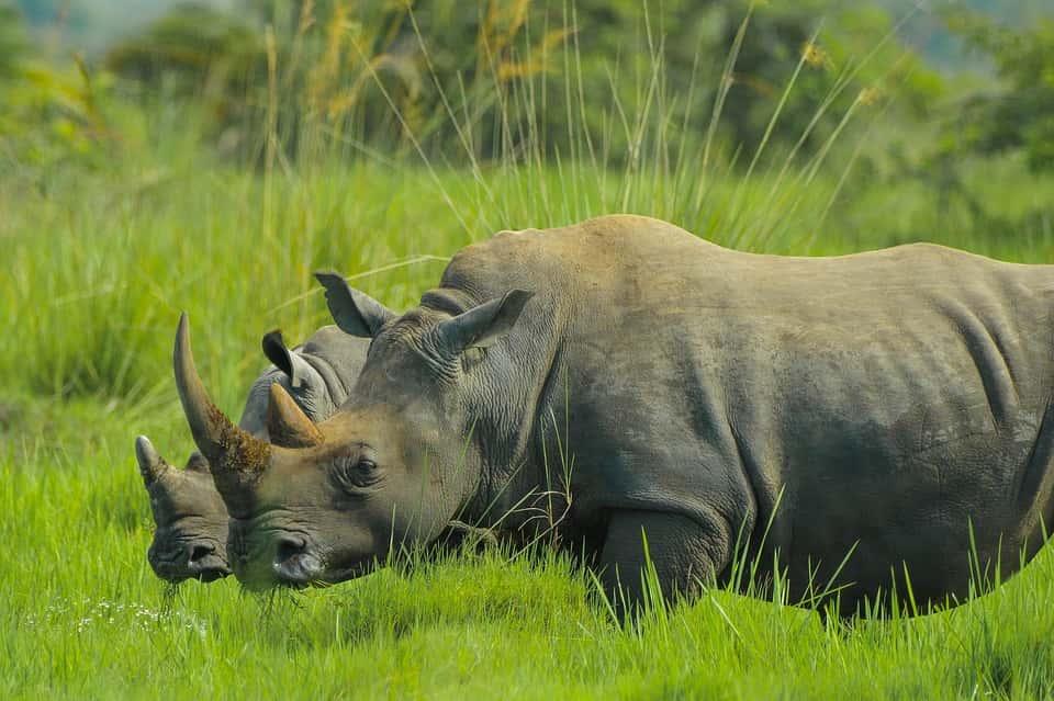 5 Days Ziwa Rhino sanctuary, primates and gorilla Safari